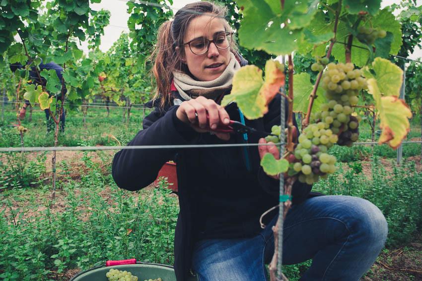 Christina Molitor Nordheim am Main Weinlese Weißwein